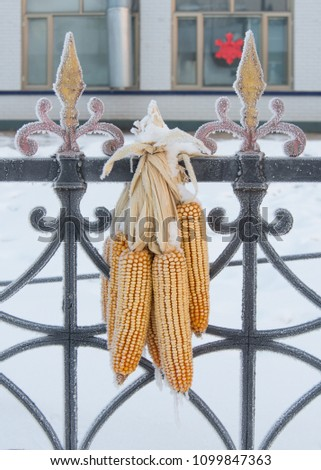 corn hanged on fence in cold...