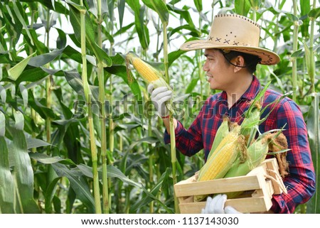 Corn harvest Corn farmer Corn harvest Growing corn Organic Farming, Organic Farming, Food and Vegetable Production, Organic Farming, Agricultural Land #1137143030