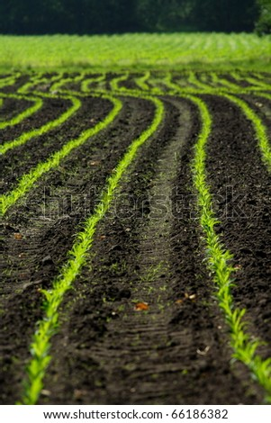 Corn in a early stage
