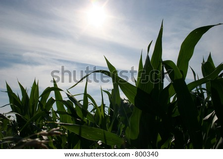 Corn in Early Summer