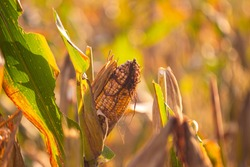 Corn in the fields is starting to rot in Purwokerto, Indonesia