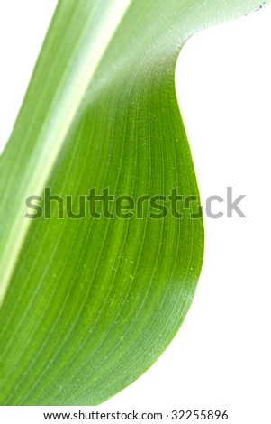 Corn Leaf ,isolated on white