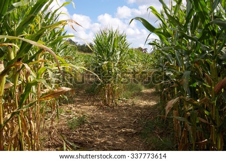 Corn Maze Fork in the Path