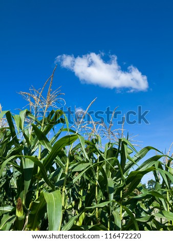 Corn of the cob is growing under Whit cloud and blue sky