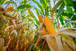 Corn on a cornfield before harvest