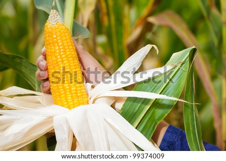 Corn on the stalk in the field with farmer's hand