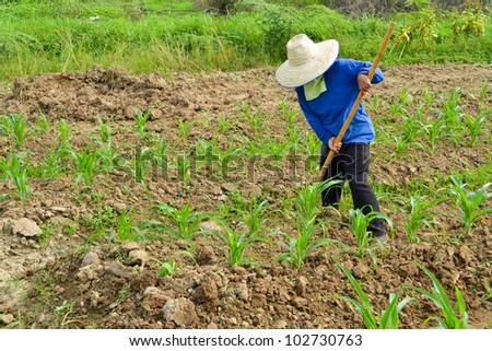 corn plant and farmer working in farm of thailand southeast asia