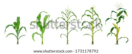 Corn plant  growing isolated on white background for garden design. The development of young plants, from sequence to tree, ready to be harvested. Agriculture for the food industry Stock photo ©