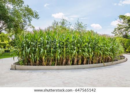 corn plant in garden #647565142