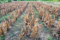 Corn plantation dry and withered