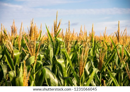 Corn Plantation Food #1231066045