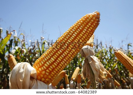 corn plantation for industrial use