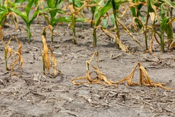 Corn plants wilting and dead in cornfield. Herbicide damage, drought and hot weather concept