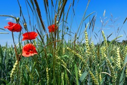 Corn poppies and grasses in a grain field in closeup against a blue sky