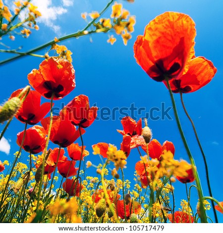 Corn poppy flowers field (Papaver rhoeas) against the blue sky in spring morning