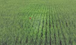 Corn poppy in a cornfield
