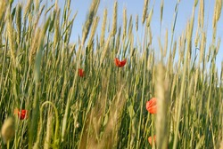 Corn poppy (Papaver rhoeas) and grain in early summer