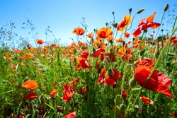 Corn poppy (Papaver rhoeas) with vibrant red flowers on a field as insects pasture, blue sky and copy space, selected focus, narrow depth of field