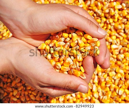 Corn seed in hands of farmer, agriculture, commodity.