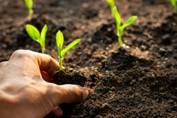 Corn seedlings are growing from fertile soil in the hands of farmers.