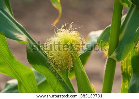 Corn silk #385139731