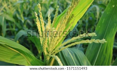 corn silk, entering the fruit season. Optimal care can reduce pest attacks and crop failure #1571151493