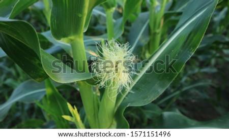 corn silk, entering the fruit season. Optimal care can reduce pest attacks and crop failure #1571151496