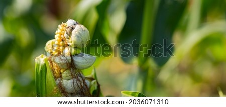 Corn smut. Ustilago maydis disease. Corn cob infected with corn smut, corn illness reduce yield in agriculture
