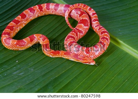 "Corn snake amelanist (albino) (Elaphe guttata ""amelanistic"") with a protruding tongue lies on a green banana leaf"