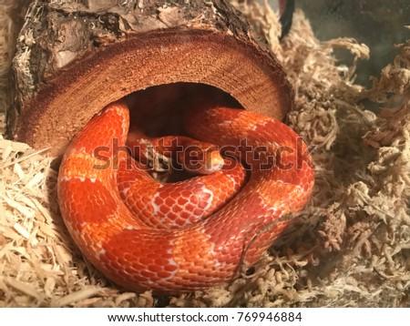 Corn Snake in a terrarium