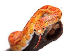 Corn snake on a branch isolated on white background