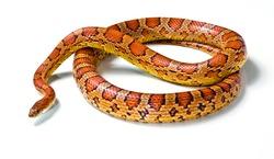 corn snake  on a white background