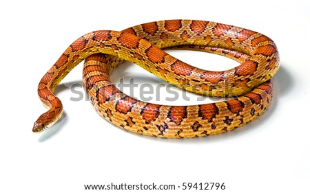 corn snake  on a white background