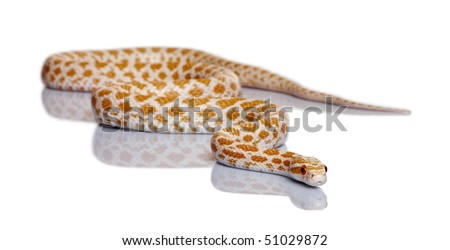 Corn snake, red rat snake, Pantherophis guttattus, in front of white background