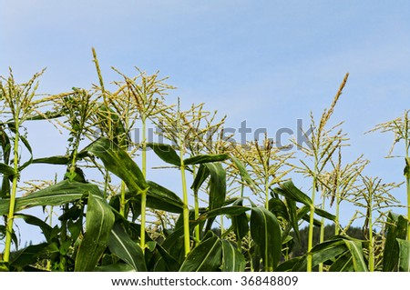 Corn stalks against blue sky - stock photo