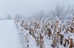 Corn stalks are surrounded by winters' snow