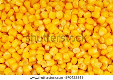 Corn texture. Yellow corns as background.
