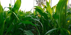 Corn tree with green leaves.