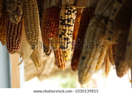 Corn varieties hanging on a farmhouse in the highlands of Peru, region Huanuco. #1030139815