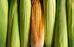 Corn with green husk and ripe maize aligned in a row, top view. Full-frame background with corn, green and riped.