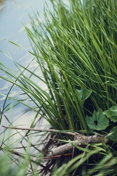 Corners of nature. Grass grows on the water. River flora and fauna. The beauty of nature. Reeds on the river. Karyaga in the water. Reflection on the water