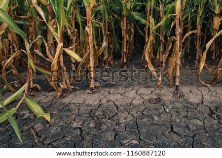 Cornfield and dry mudcracked land, drought season on farmland is impacting yield in maize harvest