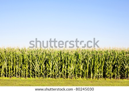 cornfield corn field - stock photo