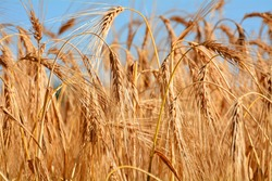 Cornfield during summertime, landscape of agricultural grain in harvest time, closeup photography of grain field