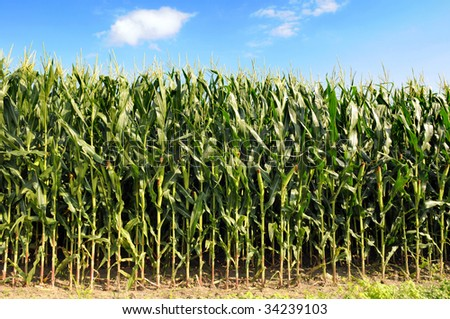 Cornfield during sunny day with blue sky and clouds