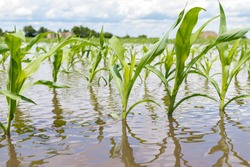 Cornfield flooding from heavy rain and storms in the Midwest. Concept of flooding, weather and corn crop damage from standing water in farm field