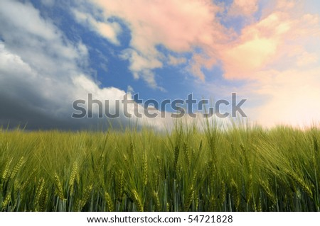 Cornfield in a early phase in a sunset
