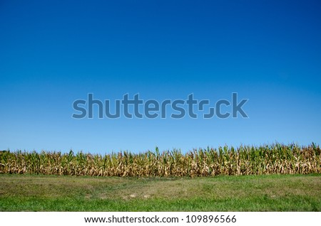 Cornfield in midwestern United States damaged by severe and extended drought