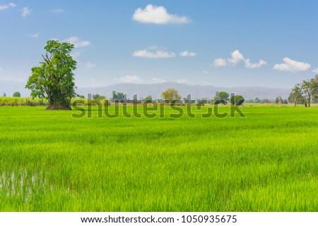 cornfield in Thailand #1050935675
