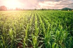 cornfield ,lens flare effect